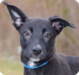 German Shepherd Dog/Boxer Mix Puppy for adoption in Plainfield, Connecticut - Lulu