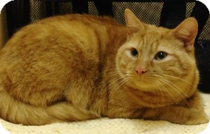 Domestic Shorthair Cat for adoption in Medford, Massachusetts - Boogs