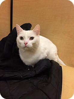 Domestic Shorthair Cat for adoption in Chesterfield Township, Michigan - Bella