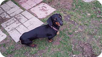 Dachshund Dog for adoption in Andalusia, Pennsylvania - Dover