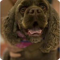 Adopt A Pet :: Duke - Arlington, TX