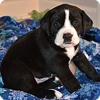 Adopt A Pet :: Hugo - Brattleboro, VT