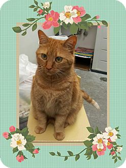 Domestic Shorthair Cat for adoption in Manchester, Connecticut - Missy