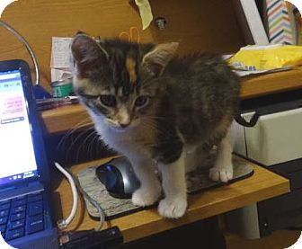 Domestic Shorthair Kitten for adoption in Colmar, Pennsylvania - Linzy