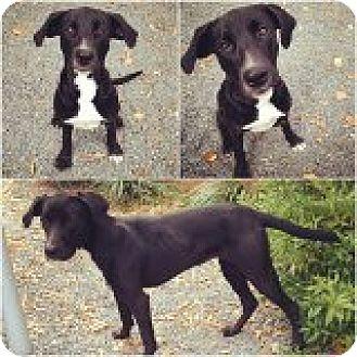 Labrador Retriever Mix Dog for adoption in Rayville, Louisiana - Olive
