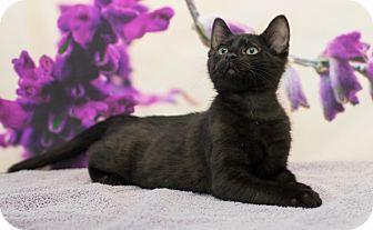 Domestic Shorthair Kitten for adoption in Houston, Texas - Yuki