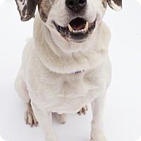 Adopt A Pet :: Scout - Santa Barbara, CA