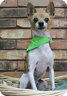 Chihuahua Mix Dog for adoption in Benbrook, Texas - Joey