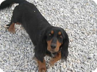 Dachshund Mix Dog for adoption in Newburgh, Indiana - Maggie pending