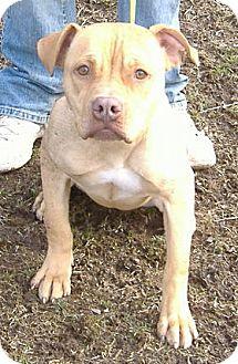 Pit Bull Terrier Dog for adoption in Tyrone, Pennsylvania - Winnie