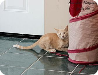 Domestic Shorthair Kitten for adoption in Flora, Illinois - Isaac