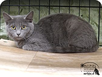 Domestic Shorthair Cat for adoption in Marlinton, West Virginia - Fisher