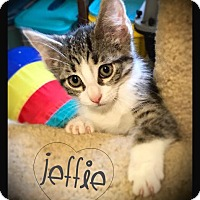 Domestic Mediumhair Kitten for adoption in Hartford City, Indiana - Jeffie