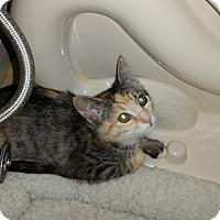 Adopt A Pet :: Amber - Medford, NJ