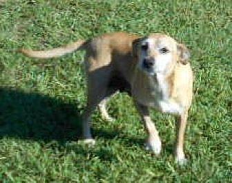 Beagle/Rat Terrier Mix Dog for adoption in Allentown, New Jersey - Lizzie