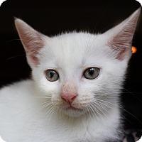Adopt A Pet :: Dove - Wayne, NJ