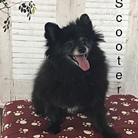 Adopt A Pet :: Scooter Jennings - Dallas, TX
