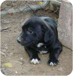 Labrador Retriever/Boxer Mix Puppy for adoption in Windham, New Hampshire - Hornell