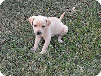 Labrador Retriever/Labrador Retriever Mix Puppy for adoption in Wilminton, Delaware - Crissy