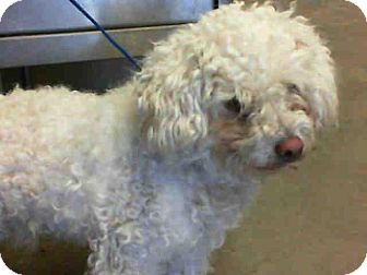 Lhasa Apso/Shih Tzu Mix Dog for adoption in Anaheim, California - McDoodle
