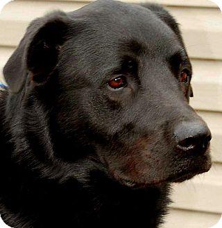 Newfoundland/Labrador Retriever Mix Dog for adoption in Wakefield, Rhode Island - DECLAN(SMART-TRAINED!! WOW!
