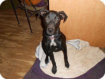 Boxer/Labrador Retriever Mix Puppy for adoption in North Jackson, Ohio - Trixie