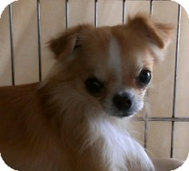 Chihuahua Dog for adoption in St. Petersburg, Florida - Bullet
