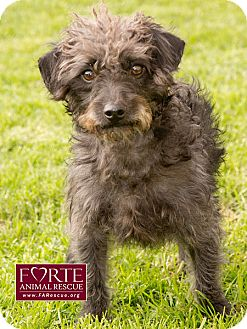 Terrier (Unknown Type, Small)/Poodle (Miniature) Mix Dog for adoption in Marina del Rey, California - Hector