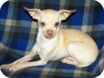 Chihuahua Mix Dog for adoption in Seattle, Washington - Benjamin