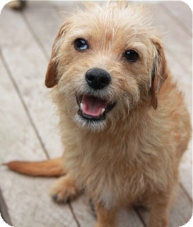 Fox Terrier (Wirehaired)/Cairn Terrier Mix Dog for adoption in Norwalk, Connecticut - Carson