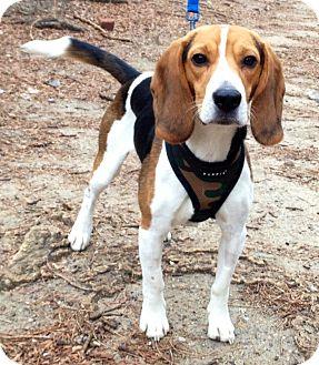 Beagle Dog for adoption in New York, New York - Freddie