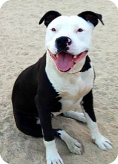 Pit Bull Terrier Mix Dog for adoption in Seattle, Washington - Minnie Mouse