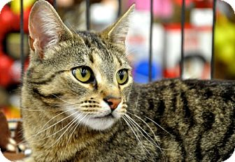 Domestic Shorthair Cat for adoption in Great Falls, Montana - Polly