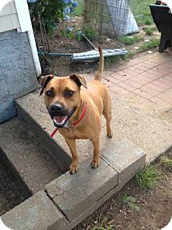 Shepherd (Unknown Type)/Pug Mix Dog for adoption in selden, New York - Sheena