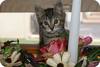 Domestic Shorthair Kitten for adoption in Trevose, Pennsylvania - Poppy