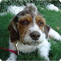 Adopt A Pet :: Solo Vino - Arlington, TX