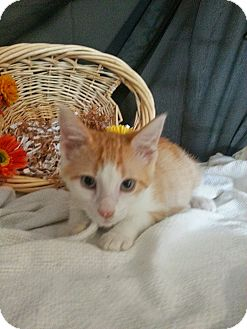 Domestic Shorthair Kitten for adoption in Clearfield, Utah - Lawrence