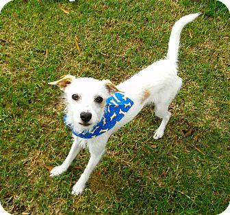Terrier (Unknown Type, Small) Mix Dog for adoption in El Cajon, California - Travis