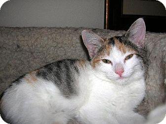 Domestic Mediumhair Kitten for adoption in Chandler, Arizona - Marbles