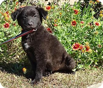 Bearded Collie/Labrador Retriever Mix Puppy for adoption in Port St. Joe, Florida - Marvin