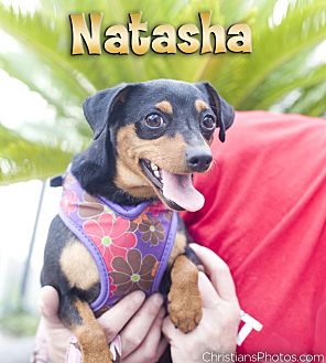 Dachshund/Miniature Pinscher Mix Dog for adoption in Fountain Valley, California - Natasha