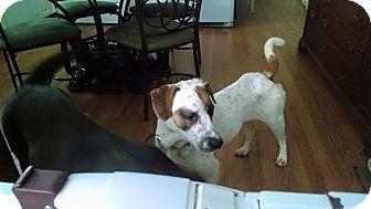 Beagle/Springer Spaniel Mix Dog for adoption in New Baltimore, Michigan - Sidney