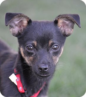 Miniature Pinscher/Chihuahua Mix Puppy for adoption in Meridian, Idaho - Spud