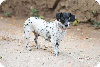 Dachshund/Dalmatian Mix Dog for adoption in Los Angeles, California - Betsy