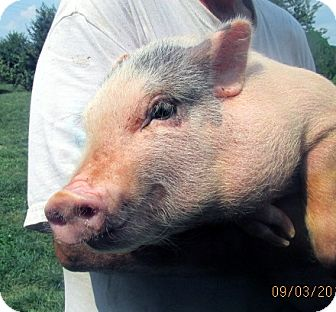 Pig (Potbellied) for adoption in Germantown, Maryland - Libra
