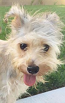 Terrier (Unknown Type, Medium) Mix Puppy for adoption in Studio City, California - Chipie