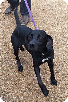 Labrador Retriever/Beagle Mix Dog for adoption in Stillwater, Oklahoma - Frankie
