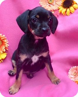 Dachshund/Terrier (Unknown Type, Small) Mix Puppy for adoption in Irvine, California - Addy