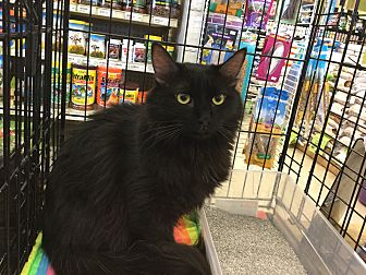 Domestic Longhair Cat for adoption in Gilbert, Arizona - Cadence