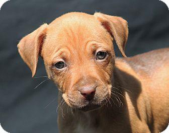 Dachshund/Beagle Mix Puppy for adoption in Marion, North Carolina - Badger